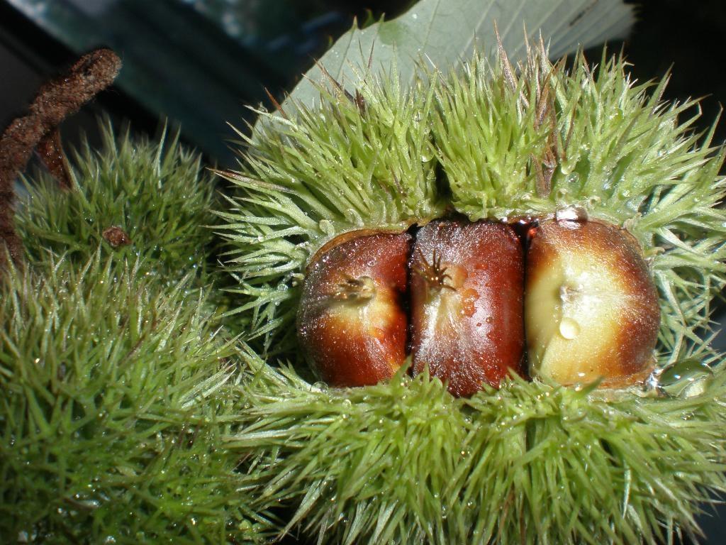 Chestnut  1