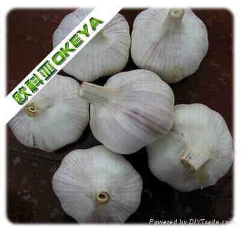 Normal garlic 3