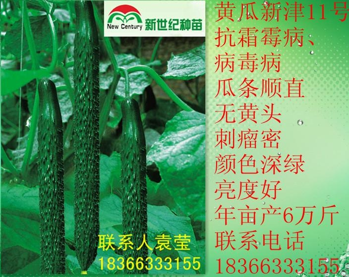 黃瓜種子新津11號 1