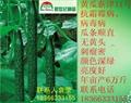 黃瓜種子新津11號