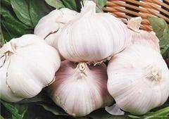 Manufactory Fresh Garlic Export