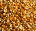 Yellow Corn Grade 1,Animal Feed,Yellow Maize Seed,Yellow Millet,Yellow Broom Cor 1