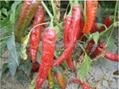 辣椒籽 4