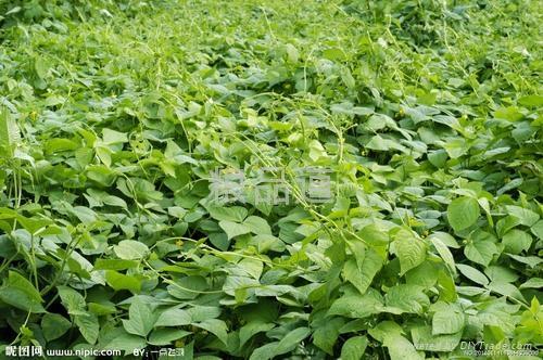organic mung bean 2