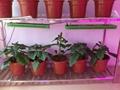 High power 720w full spectrum led grow light for flowering stage 5