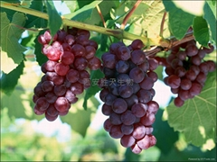Grape Seed P.E| Anthocyanidins| Soften blood vessels| Anti-aging|Best price| Xi'