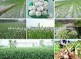 fresh norml/pure  white garlic  4