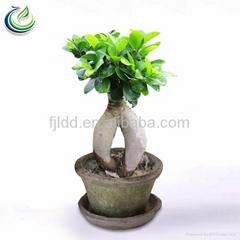 200g Ficus Bonsai