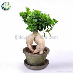 500g Ficus Ginseng