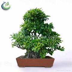 Banyan Ficus