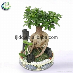 750g Bonsai Ficus Ginseng