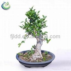 Bonsai Tree For Sale