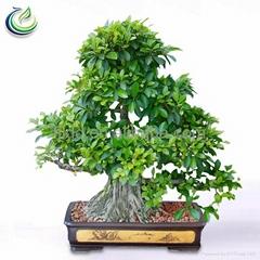 Evergreen Fig Tree