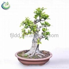 Chinese Bonsai Ficus