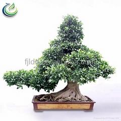 Curtain Tree Ficus