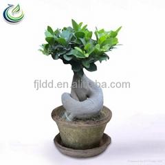 300g Ficus Ginseng Bonsai