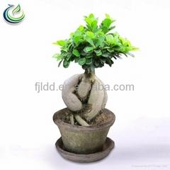 400g Ficus Ginseng Bonsai