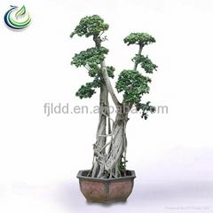 Ficus Microcarpa L.F