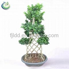 Bottle Shaped Ficus Microcarpa