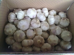 garlic gold supplier