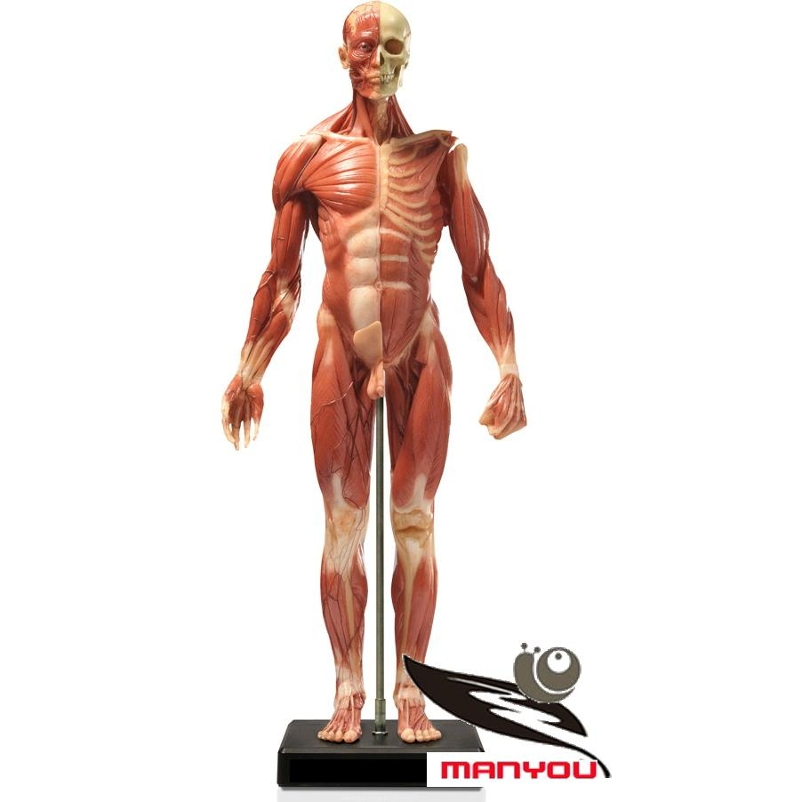 Human Skeletal Muscle Anatomical Model My M47 My China