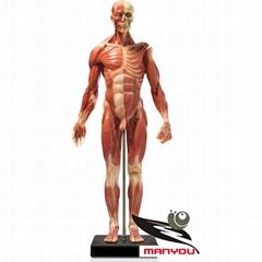 Human skeletal muscle anatomical model