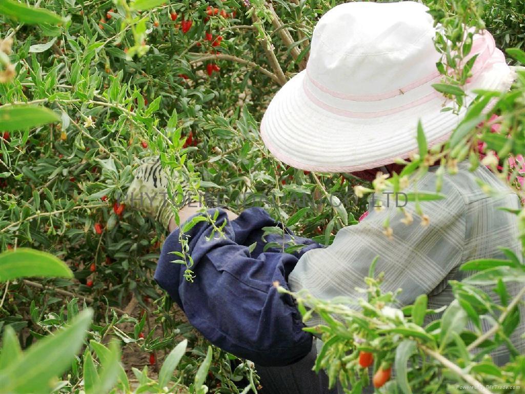 Organic Goji Berry / Organic Wolfberry NOP/EEC 3