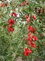 Organic Goji Berry / Organic Wolfberry NOP/EEC 2