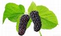 Organic Mulberry NOP/EEC