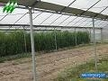 Plastic Film Multi-Span Greenhouse 2