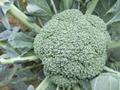 Frozen vegetable-Frozen Broccoli 1
