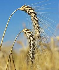 Feed Wheat, Ukraine