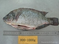Tilapia Gutted & Scaled