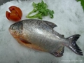 Frozen Red Pomfret / Red pacu