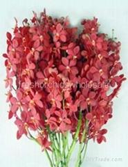 Fresh cut orchids flower wholesale, Mokara red