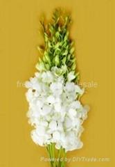Fresh cut orchids flower wholesale, Dendrobium : Vicky white