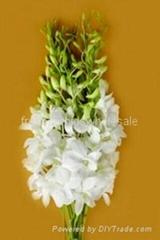 Fresh cut orchids flower wholesale, Dendrobium : Lervia White