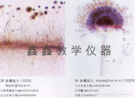 微生物切片 1