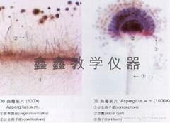 微生物切片
