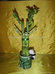 flower lucky bamboo(Dracaena sanderiana) plant for Indoor Decoration