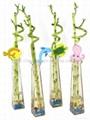 flower lucky bamboo(Dracaena sanderiana) plant for Indoor Decoration 3