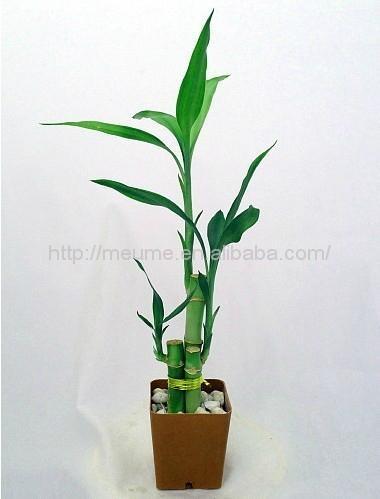 flower lucky bamboo(Dracaena sanderiana) plant for Indoor Decoration 5