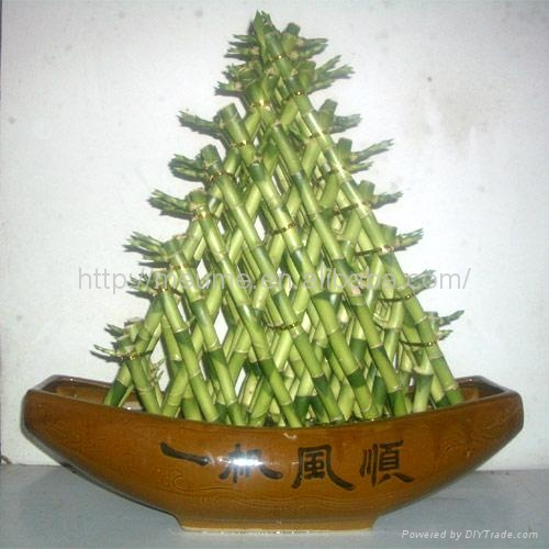 Stylish Lucky Bamboo plant for house and office (aquatic plant) 1