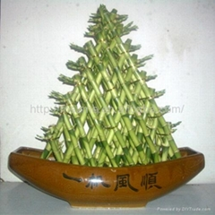 Stylish Lucky Bamboo plant for house and office (aquatic plant)
