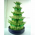Stylish Lucky Bamboo plant for house and office (aquatic plant) 2