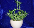 Stylish Lucky Bamboo plant for house and office (aquatic plant) 4