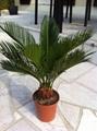 Cycas revoluta Outdoor landscaping trees Plants sago palm tree nursery 3