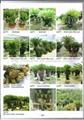 Cycas revoluta Outdoor landscaping trees Plants sago palm tree nursery 5