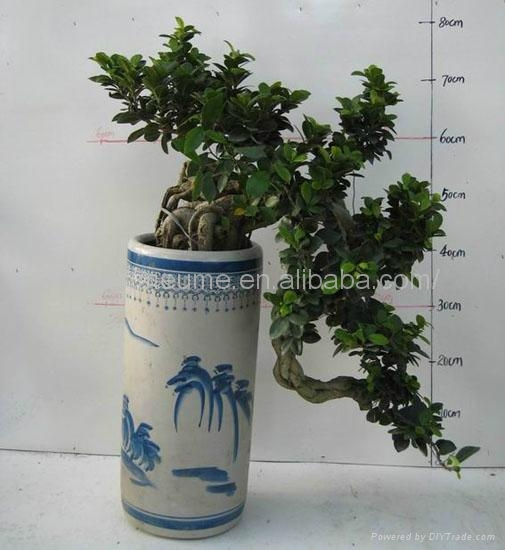 Chinese Ficus Microcarpa Bonsai for sale 2