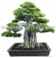 Chinese Ficus Microcarpa Bonsai for sale 3